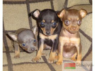 Продам щенка русской гончей, выжловка, дата рождения 29052012г, родители на фото